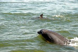 dauphins dans leau