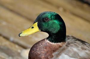 Portrait de canard colvert