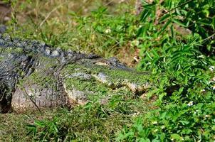 alligator dans le désert