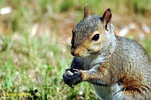 écureuil dans l'herbe