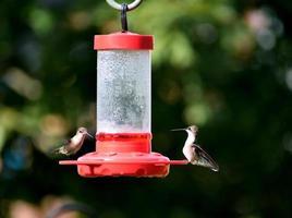 colibris à la mangeoire