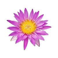 fleur de lotus rose sur fond blanc