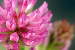 macro fleur de trèfle rouge