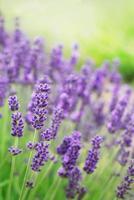 Gros plan de belles fleurs de lavande violette dans l'herbe