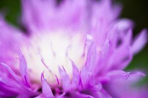 Gros plan du bleuet blanchi à la chaux en fleurs photo