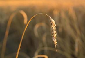 épis de blé d'or sous le ciel photo