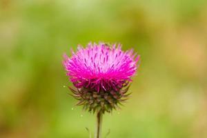 belle fleur sauvage pourpre photo