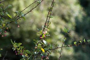 buisson d'épine-vinette