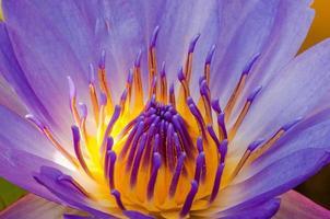le pollen et les pétales en gros plan