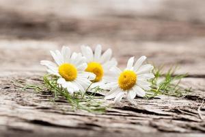 fleurs de camomille bio