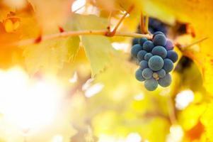 vignobles au coucher du soleil en saison des récoltes d'automne