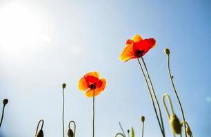 fleur de pavot orange avec ciel bleu2 photo