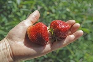 palmier aux fraises photo