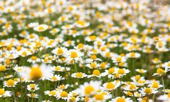 camomille en fleurs