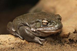Crapaud du Colorado (Incilius alvarius). photo