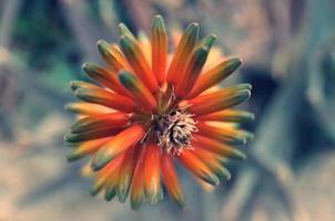 fleur du désert orange et verte photo