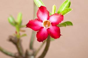 fleur rose du désert rouge photo