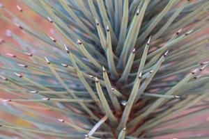 détail de yucca photo