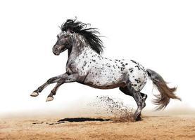 Appaloosa horse play en été