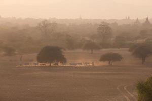 Groupe de vache marchant sur route poussiéreuse, Bagan, Myanmar photo
