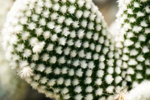 oputia microdasys var. albispina, cactaceae, amérique du sud photo