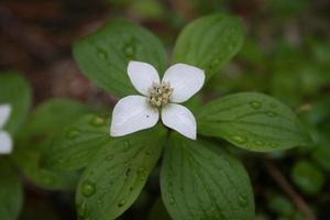 fleur de la forêt - bunchberry photo