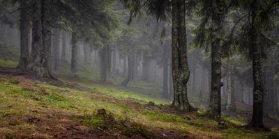 forêt d'épinettes ensoleillée