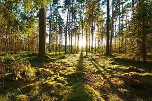 lever du soleil dans la forêt de pins