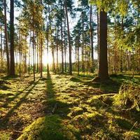 lever du soleil dans la forêt de pins photo
