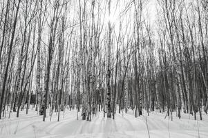 forêt de bouleaux photo