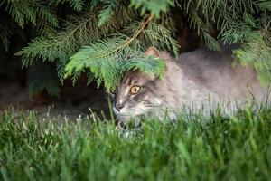 chat des forêts norvégiennes photo