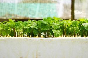 forêt de semis de menthe photo