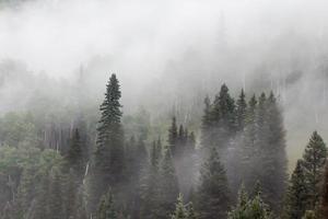 la cime des arbres de pin traverse un brouillard dense