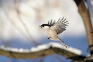 mésange de saule volant dans la forêt d'hiver