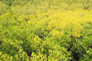 Plante verte dans la forêt marécageuse de mangrove photo