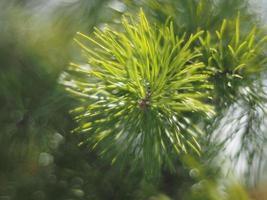 brin de pin dans la forêt