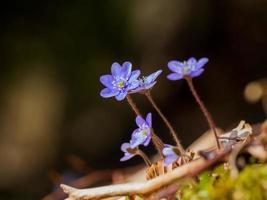 fleur d'hépatique