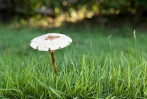 Champignon blanc de la forêt dans l'herbe photo