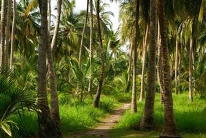 Forêt de palmiers verts dans l'île colombienne de mucura photo