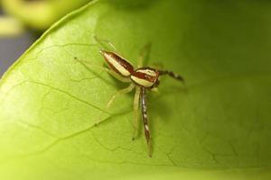 petite araignée sauteuse dans la forêt tropicale