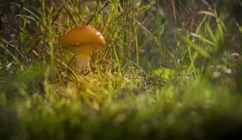 champignon dans la forêt photo