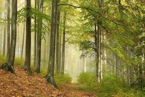 forêt de hêtres d'automne dans le brouillard