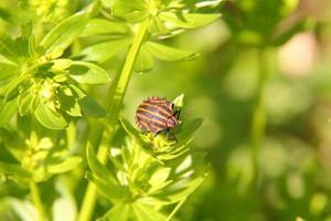 bug de la forêt. hemiptera. photo