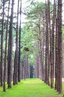 forêt de pins en Thaïlande photo