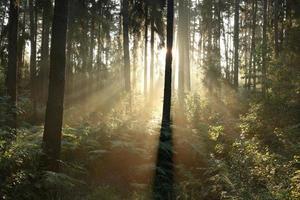 forêt de conifères brumeux à l'aube