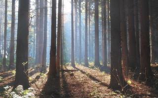 forêt de pins d'automne le matin