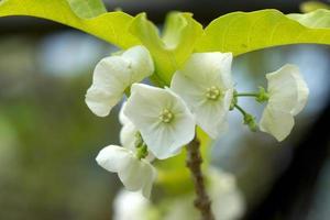 fleur blanche de vallaris solanacea (roth) kuntze.