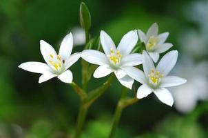 quatre débuts de floraison de Bethléem dans la forêt