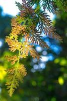 Selaginella argentea printemps photo