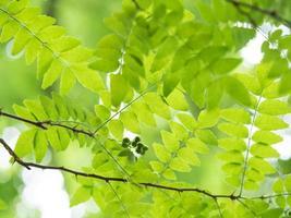 Poivre japonais de montagne dans la forêt du début de l'été photo